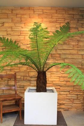 太古の樹ディクソニア36