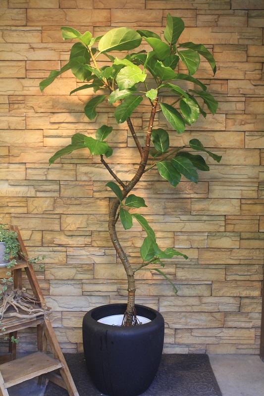 プリンス アフリカン アフリカンプリンス鉢植を、ご自宅マンションリビングに設置!