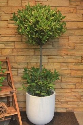 月桂樹100